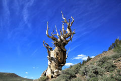 Pin antique de Bristlecone, la Californie Image libre de droits