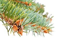 Pin-arbre Images libres de droits