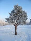 Pin-arbre givré isolé Photos libres de droits