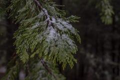 Pin avec des cristaux de glace sur les feuilles image stock