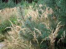 Pin avec l'herbe Photo libre de droits
