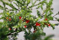 Pin avec le fruit rouge Image libre de droits