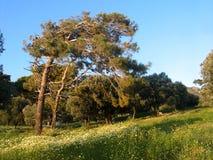 Pin balayé par le vent et fleurs sauvages Image libre de droits