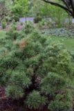 Pin blanc Eastern white pine Pinus strobus Sea Urchin Pinaceae garden stock image
