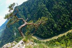 Pin c?l?bre sur la cr?te de Sokolica et rivi?re de Dunajec en Pologne du sud image libre de droits