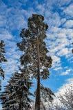 Pin contre le ciel en hiver photographie stock libre de droits