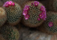 Pin Cushion Cactus In Bloom Stockfoto