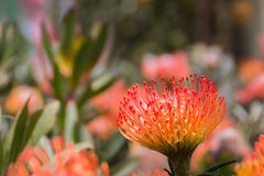 Pin cushion flower Stock Photos