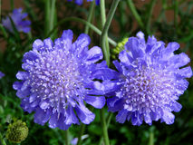 Pin Cushion Flowers Stockfoto