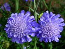 Pin Cushion Flowers Stock Photo