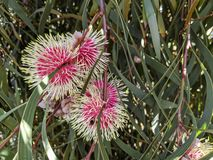 Pin cushion Hakea, Hakea laurina, is one of the most admired native plants of south-western Australia. Four globular flowers of the striking Hakea, known as the royalty free stock images