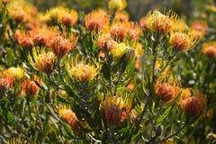 Pin Cushion Leucospermum Proteaceae Lizenzfreies Stockbild