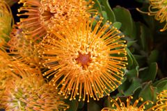 Pin cushion protea flowers close up. Yellow pin cushion protea flower, close up with leaves and other flowers in background. Proteas are currently cultivated in stock photos