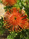 Pin Cushion Protea. One of South Africa's national flowers Stock Photography