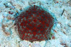 Pin cushion sea star Stock Photography