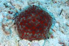 Pin cushion sea star. (Culcita schmedeliana) in the coral reef stock photography
