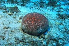 Pin cushion sea star. Culcita schmedeliana underwater in the coral reef stock photography