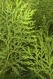 Pin Cypress Photographie stock libre de droits