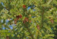 Pin d'arbre de cône de sapin de Douglas Photos libres de droits
