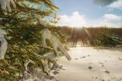 Pin d'hiver dans la neige au soleil, coucher du soleil photos libres de droits