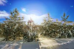 Pin d'hiver dans la neige au soleil, coucher du soleil image stock