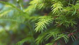 Pin dans la fin de brunch d'arbre de forestFir  photos stock