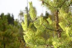 Pin dans la fin de forêt  Fond Photographie stock libre de droits