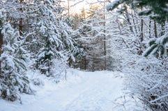 Pin dans la forêt Photos stock