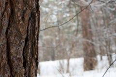 Pin dans la forêt d'hiver Images stock