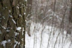 Pin dans la forêt d'hiver Photos stock
