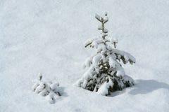 Pin dans la neige Images libres de droits