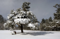 Pin dans une neige en montagnes de Caucase Photographie stock