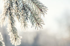 Pin de branche dans la neige Images stock