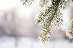 Pin de branche dans la neige Images libres de droits
