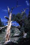Pin de Bristlecone - le Colorado Photos stock