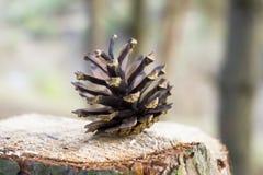 Pin de cône de pin Images libres de droits