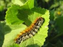 Pin de Caterpillar Processionary passant une feuille verte Image stock