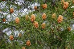 pin de Dentelle-écorce Images libres de droits