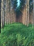 Pin de forêt Photos stock