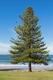 Pin de l'Île Norfolk s'élevant sur le bord de la mer au ressac de Torquay Photos libres de droits