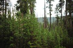 Pin de Lodgepole chez Yellowstone Photographie stock libre de droits