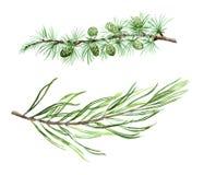 Pin de mélèze et branches impeccables d'aquarelle Photo libre de droits