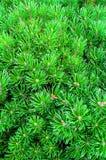 Pin de montagne - vue naturelle de plan rapproché Pin nain vert clair Images libres de droits