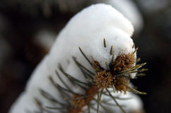 Pin de neige Photographie stock libre de droits