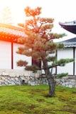 Pin du Japon photos libres de droits
