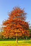 Pin-Eiche, Eiche palustris als Parkbaum im Rasen Stockfoto