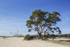 Pin en parc national Hoge Veluwe, Pays-Bas photographie stock libre de droits
