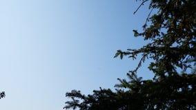 Pin et ciel bleu Photos libres de droits