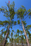 Pin Flatwoods - Floride Images stock