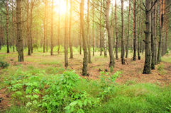 Pin forest Royalty Free Stock Images